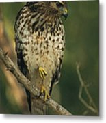 A Red Shouldered Hawk Perches On A Tree Metal Print