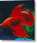 A Red Siamese Fighting Fish In An Metal Print by Jason Edwards