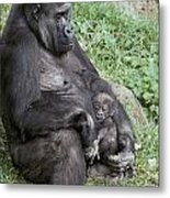 A Relaxed Western Lowland Gorilla Metal Print