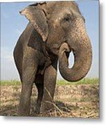 A Rescued Asian Elephant Eats Sugar Metal Print