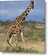 A Reticulated Giraffe On A Samburu Metal Print