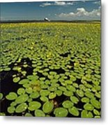 A River Delta Filled With Lily Pads Metal Print