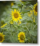 A Row Of Bright Yellow Sunflowers Grow Metal Print