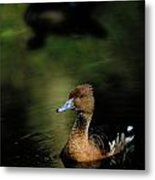 A Ruddy Duck Swims Through The Marsh Metal Print
