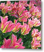 A Sea Of Pink Tulips. Square Format Metal Print