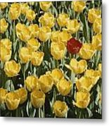 A Single Red Tulip Among Yellow Tulips Metal Print by Ted Spiegel