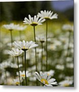 A Small Group Of Daisies Stands Metal Print