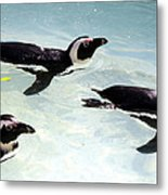 A Small Squadron Of Swimming Penguins Metal Print