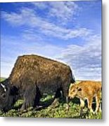 A Sow Bison Guides Her Calves On A Walk Metal Print