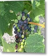 A Spider On The Grapes Metal Print