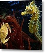 A Spotted Young Blue Crab, Callinectes Metal Print