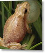 A Spring Peeper Calls For A Mate Metal Print