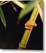 A Spring Peeper Frog Perches Metal Print by Raymond Gehman