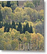 A Stand Of Aspen And Evergreen Trees Metal Print