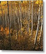 A Stand Of Aspen Trees Displaying Metal Print