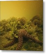 A Starfish In Waters Clouded By A Red Metal Print