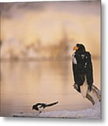 A Stellers Sea Eagle Perched On A Log Metal Print