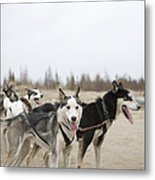 A Team Of Dogs Pull A Cart Metal Print