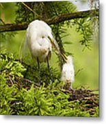 A Tender Moment - Great Egret And Chick Metal Print