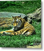 A Tiger's Gaze Metal Print by Paul Ward