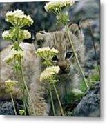 A Tiny Lynx Cub Felis Lynx Peeks Metal Print
