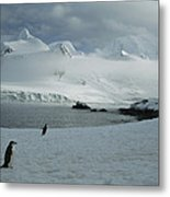 A Trio Of Chin Strap Penguins Amble Metal Print