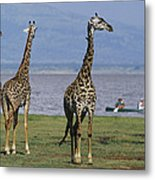 A Trio Of Giraffes Near The Edge Metal Print