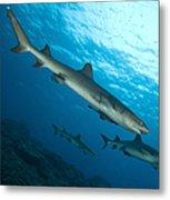 A Trio Of Whitetip Reef Sharks, Kimbe Metal Print