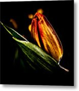 A Tulip With Sheen Metal Print