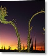 A View At Twilight Of A Boojum Tree Metal Print