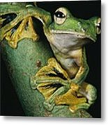 A Wallaces Flying Frog, Rhacophorus Metal Print by Tim Laman