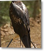 A Wedge-tailed Eagle At A Wild Bird Metal Print