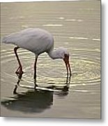 A White Ibis Probes The Mud Metal Print