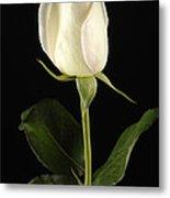 A White Rose Rosaceae Metal Print