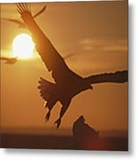 A White-tailed Eagle In Flight Metal Print