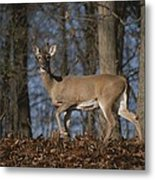 A Wild Deer Caught In Early Morning Metal Print
