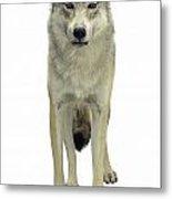A Wolf Metal Print