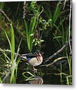 A Wood Duck Reflected In Creek Water Metal Print