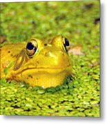 A Yellow Bullfrog Metal Print