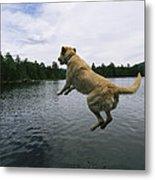 A Yellow Labrador Retriever Jumps Metal Print