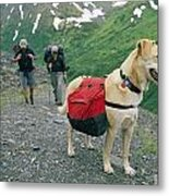 A Yellow Labrador, Wearing A Backpack Metal Print by Rich Reid