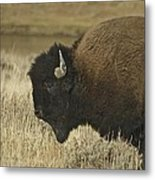A Yellowstone Bison 9615 Metal Print