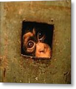 A Young Chimpanzee Held Captive Metal Print