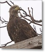 A Young Eagle In The Midst Of Change  Metal Print