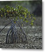 A Young Mangrove Tree Metal Print by Klaus Nigge
