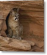 A Young Mountain Lion Rests In A Rocky Metal Print