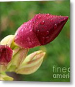 About To Bloom Metal Print by Chris Hill