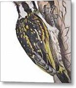 Acacia Pied Barbet Metal Print