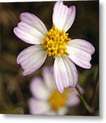 Aceitillo Flower Metal Print