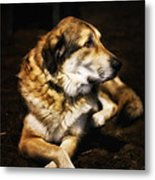 Adam - The Loving Dog Metal Print by Bill Tiepelman